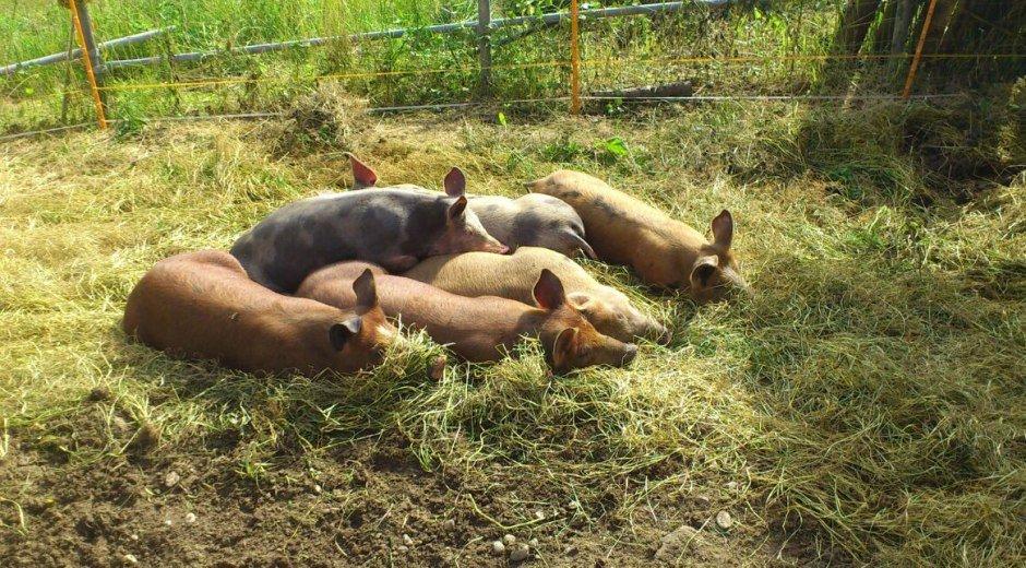butterblume-schweinchen