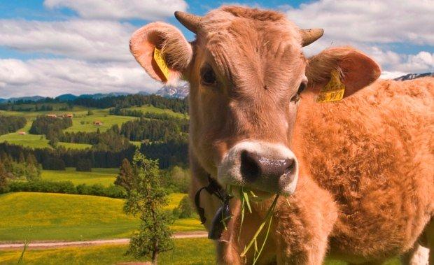 Landschaftsbild vom Westallgäu mit Kuh