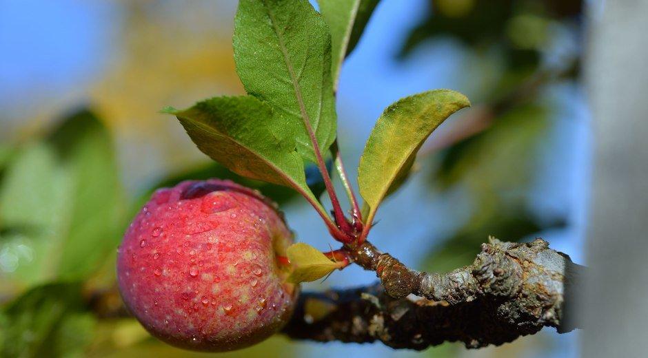 Äpfel der Streuobstwiesen im Westallgäu und am Bodensee