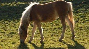 Reiten im Westallgäu Pferd beim Grasen