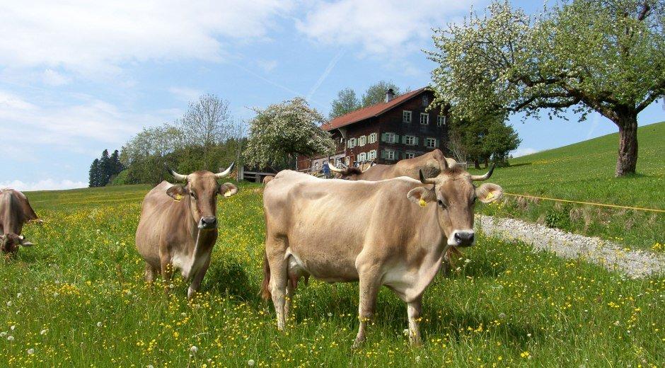 Gemeinde Stiefenhofen Frühjahr mit Kühen