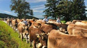Gemeinde Maierhöfen im Westallgäu Viehscheid - Almabtrieb mit Kühen