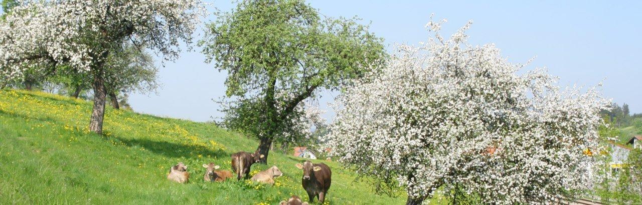 Weidende Kühe auf der Frühlingswiese in Heimenkirch
